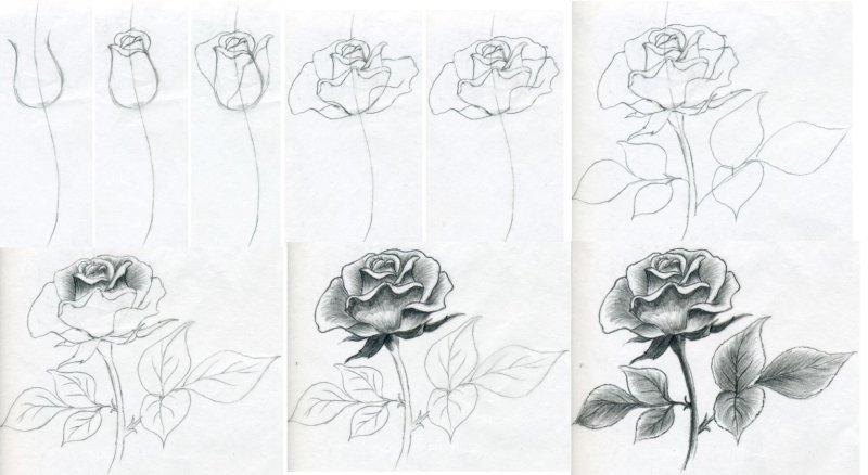 Красивые нарисованные розы карандашом