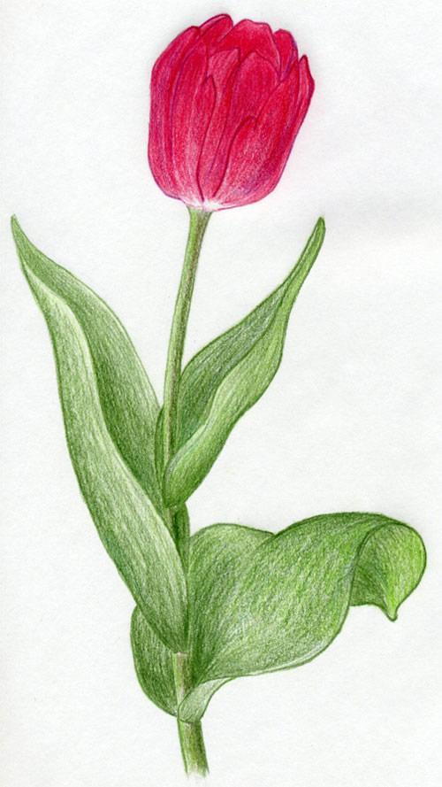 рисуем тюльпаны маслом  VideoLike